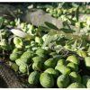 Monteoliva comienza la nueva campaña olivarera con la recogida de la variedad pajarero